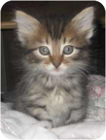 Maine coon cats for adoption in texas