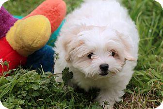 Austin Tx Shih Tzu Meet Tick A Pet For Adoption