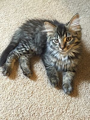 Greensburg, PA - Maine Coon  Meet Sonny a Pet for Adoption