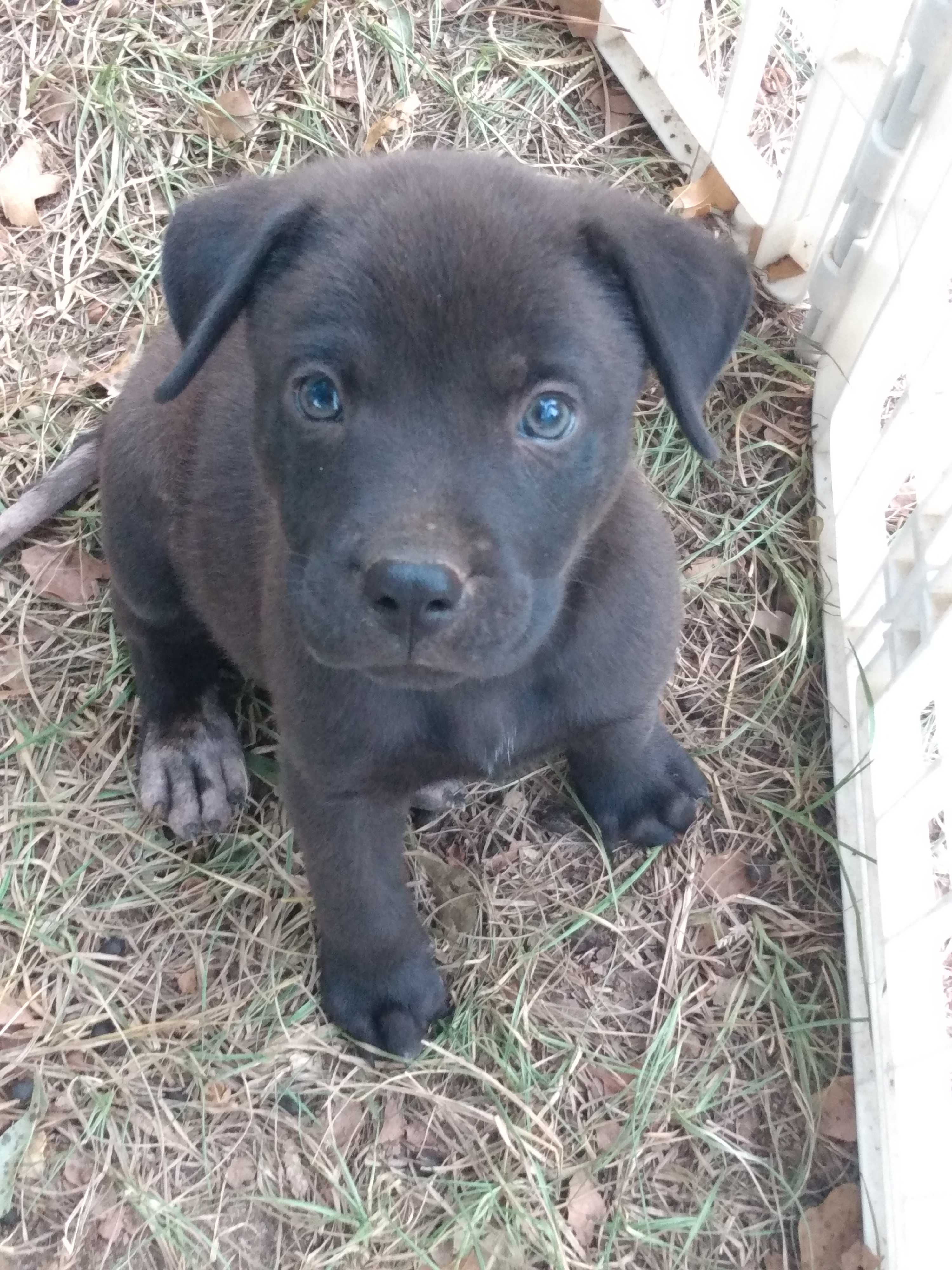 American Pit Bull Terrier Meet Pitbull