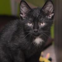 Dodgeville Wi Domestic Shorthair Meet Minolta A Cat For Adoption