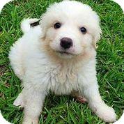 Austin, TX - Bichon Frise  Meet Ziggy a Pet for Adoption