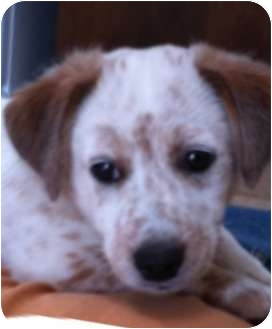 Okotoks, AB - Jack Russell Terrier  Meet Bruno a Pet for