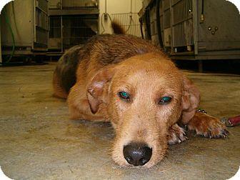 German Shepherd Dog/Labrador Retriever Mix Dog for adoption in Upper Sandusky, Ohio - Hewy