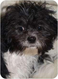 Torontogta On Shih Tzu Meet Shihtzubichon Pups A Pet For Adoption