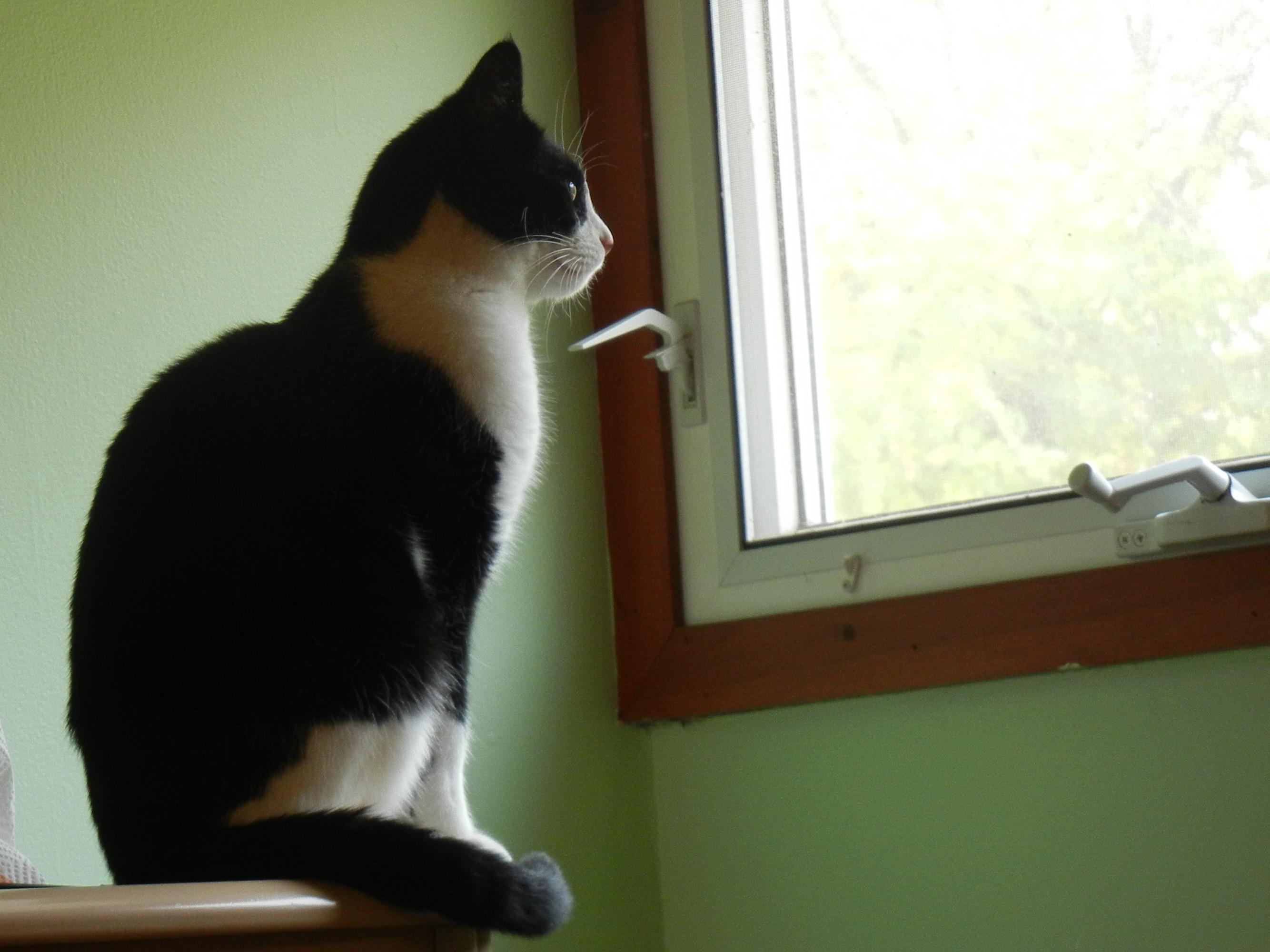 Southington CT Domestic Shorthair Meet Barn Cats a Cat