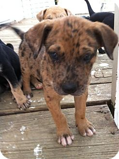 Great Dane Boxer Mix Puppies For