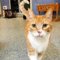 Domestic Shorthair/Domestic Shorthair Mix Cat for adoption in Charleston, South Carolina - Ellen