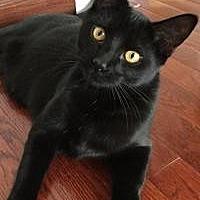 Adopt A Pet :: Poprocks - Rochester, MI