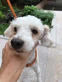 Poodle (Standard) Mix Dog for adoption in Long Beach, New York - Fozzy