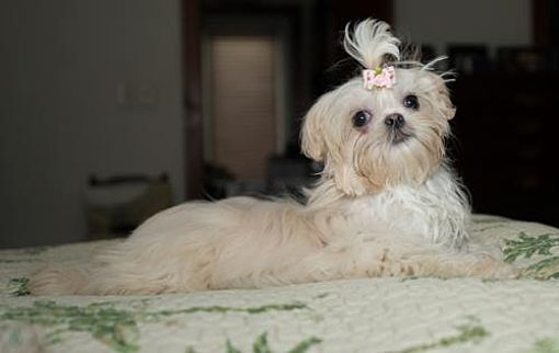 Tallahassee Fl Shih Tzu Meet Scarlett A Pet For Adoption