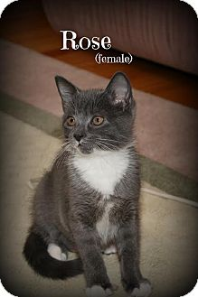 Domestic Shorthair Kitten for adoption in Glen Mills, Pennsylvania - Rose