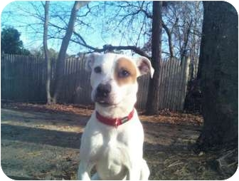 Pocasset Ma Jack Russell Terrier Meet Pickles A Pet For Adoption