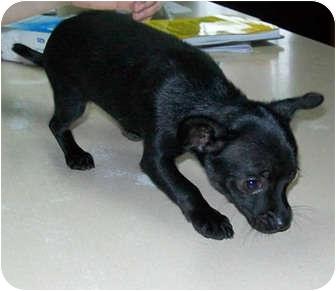Murphysboro Il Chihuahua Meet Enya A Pet For Adoption