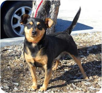 Chihuahua Mix Dog for adoption in Palmdale, California - Ziggy