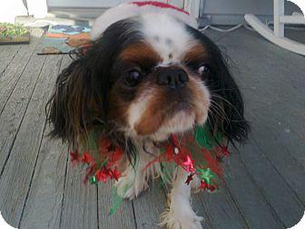 English Toy Spaniel Dog for adoption in Cumberland, Maryland - ollie