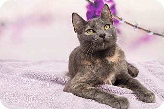 Domestic Shorthair Cat for adoption in Houston, Texas - Rose Tyler