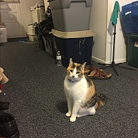 Adopt A Pet :: Tiger (COURTESY POST) - Baltimore, MD