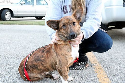 Champaign, IL - Corgi  Meet Ashton a Pet for Adoption