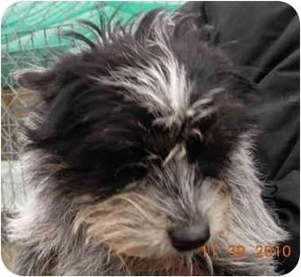Cairn Terrier Dog for adoption in Lexington, Missouri - Whiskers