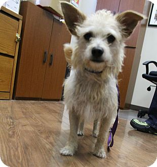 Cairn Terrier Mix Dog for adoption in Norwalk, Connecticut - !Ziggy Stardust - meet him!