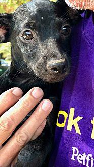Adopt A Pet :: Bogart Coal Black Puppy  - Corona, CA