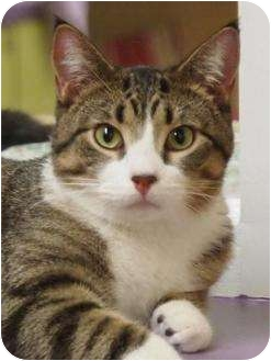 Domestic Shorthair Cat for adoption in Ocean City, New Jersey - Stevie
