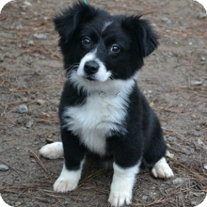 Athens Ga Border Collie Meet Molly A Pet For Adoption