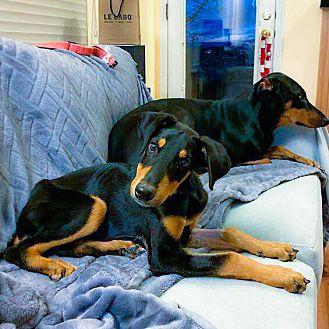Adopt A Pet :: Paisley  - Albuquerque, NM