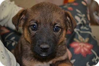 Mt Sterling Ky German Shepherd Dog Meet Sparkle A Pet For Adoption