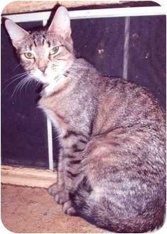 Ocicat Cat for adoption in New York, New York - Becky
