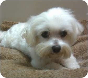 maltese puppies for sale in sc columbia sc maltese meet romeo a dog for adoption 5678