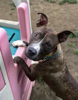American Pit Bull Terrier Mix Dog for adoption in Valley View, Ohio - Bernie