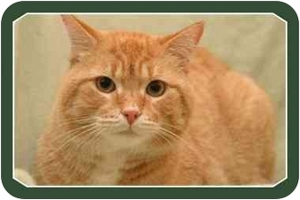 Domestic Shorthair Cat for adoption in Sterling Heights, Michigan - Morris - ADOPTED!