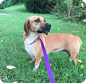 Beagle/Dachshund Mix Dog for adoption in Washington, D.C. - Bessie (Reduced Fee)