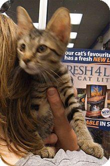 Domestic Shorthair Kitten for adoption in Bear, Delaware - Zanny & Emmitt