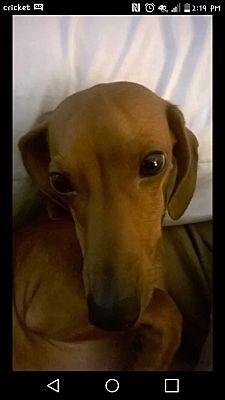 Gainesville Ga Dachshund Meet Linus A Pet For Adoption