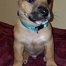 Adopt A Pet :: Bartley Pup