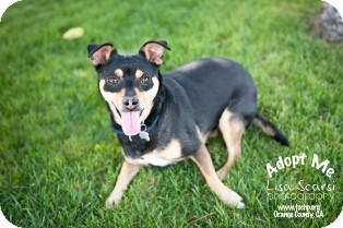 Miniature Pinscher Dog for adoption in Tustin, California - Abby