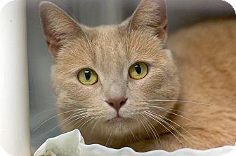 Adopt A Pet :: GingerSnap  - Troy, MI