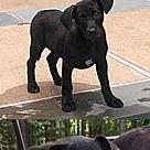 Adopt A Pet :: Pomchi Toby