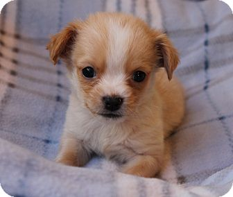 La Habra Heights Ca Chihuahua Meet Tiny Wallie A Pet For Adoption