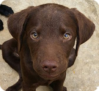 Labrador Retriever Mix Puppy for adoption in Pennigton, New Jersey - Baron
