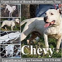 American Staffordshire Terrier/Black Mouth Cur Mix Dog for adoption in Hearne, Texas - Chevy