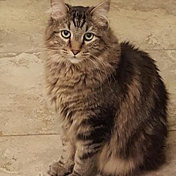 Maine Coon Kittens for Sale in Colorado - Adoptapet com