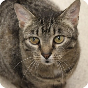 Domestic Shorthair Cat for adoption in Naperville, Illinois - Catfish