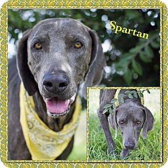 Weimaraner Mix Dog for adoption in Corpus Christi, Texas - Spartan