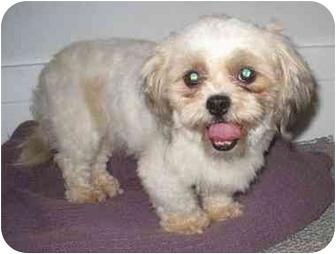 Rochester Ny Shih Tzu Meet Sparky A Pet For Adoption