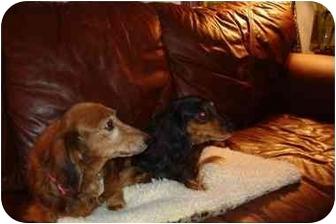 Dachshund Mix Dog for adoption in Vista, California - Liberty & Star