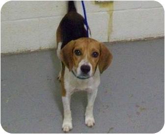 Mcallen Tx Beagle Meet Sammy A Pet For Adoption